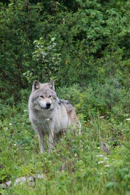 Adesivo Female grey wolf in an open meadow near Golden, British Columbia