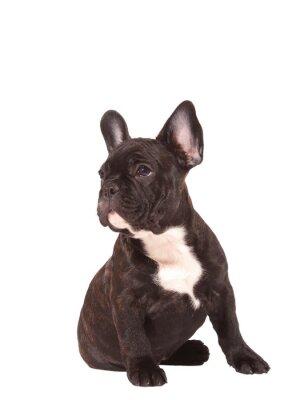 Adesivo Filhote de cachorro do buldogue francês (3 meses velho) - Stock Image