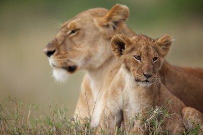 Adesivo Filhote de leão com sua mãe no fundo