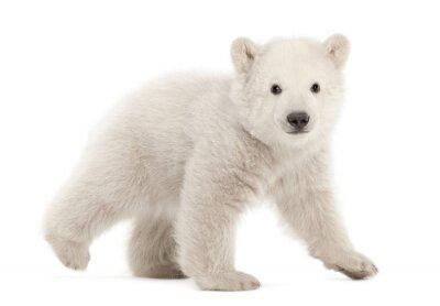 Adesivo Filhote de urso polar, Ursus maritimus, 3 meses de idade