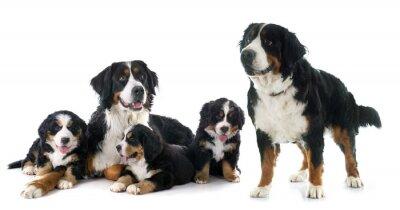 Adesivo filhotes de cachorro e cão bernese moutain adulto