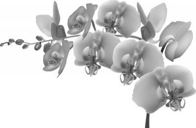 Adesivo filial da orquídea cinzento no fundo branco