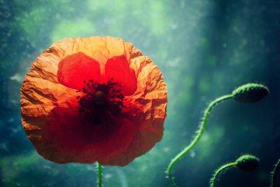 Adesivo Flor bonita da papoila de encontro ao fundo verde brilhantemente iluminado, backlight