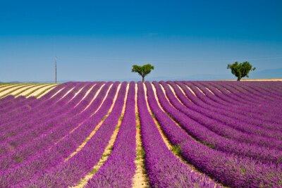 Adesivo Flor de lavanda florescendo campos perfumados
