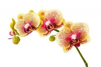 Adesivo Flores da orquídea isolada no fundo branco.