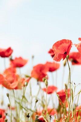 Adesivo Flores da papoila retro pacífica fundo de verão