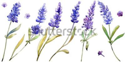 Adesivo Flores de lavanda roxo aquarela. Flor botânica floral. Elemento de ilustração isolado. Wildflower do Aquarelle para o fundo, a textura, o teste padrão do envoltório, o quadro ou a beira.