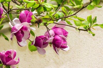 Adesivo flores de magnólia em um fundo blury