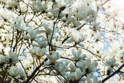 Adesivo Florescer, branca, magnólia, flores, primavera, tempo