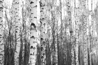 Adesivo Floresta de vidoeiro, foto preto e branco