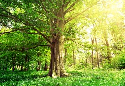 Adesivo Floresta decídua com faia velha