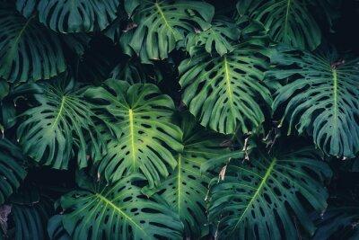 Adesivo Folhas de Philodendron de Monstera - planta da floresta tropical