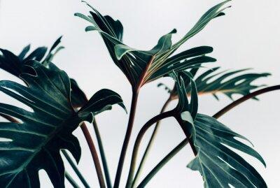 Adesivo Folhas de xanadu tropical exóticas em conceitos de background.nature branco