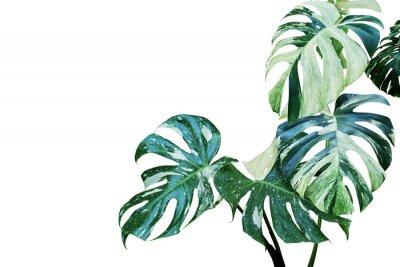 Adesivo Folhas variegadas de Monstera, planta de Philodendron de folha dividida, isolada no fundo branco