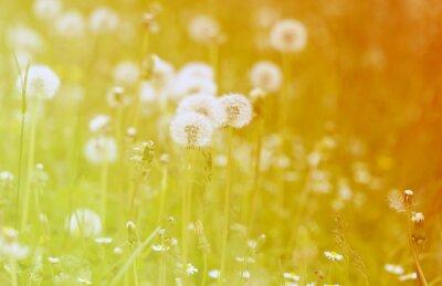 Adesivo Foto dandelions fofo