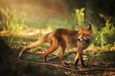Adesivo Fox na floresta do verão