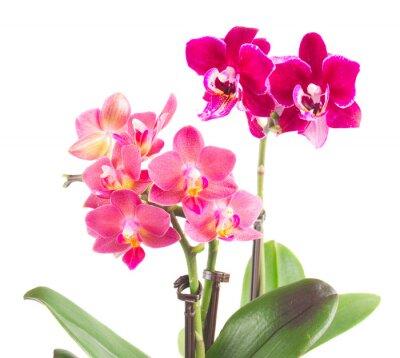 Adesivo Fresco, rosa, orquídea, pote