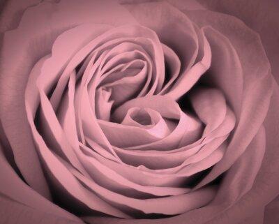 Adesivo Fundo cor-de-rosa do close-up da rosa. Cartão romântico do amor