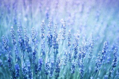 Adesivo Fundo de florescência borrado bonito do close up das plantas da alfazema. Filtro de cor violeta azul e foco seletivo usado.