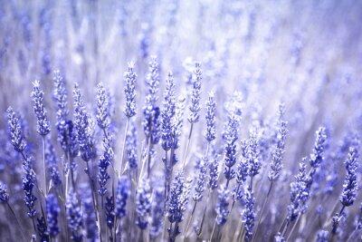 Adesivo Fundo de florescência borrado bonito do close up das plantas da alfazema. Violeta filtro de cor azul e foco seletivo usado.