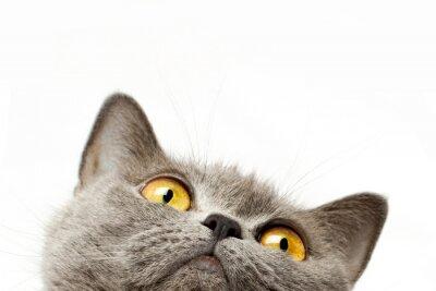 Adesivo Gato britânico do shorthair