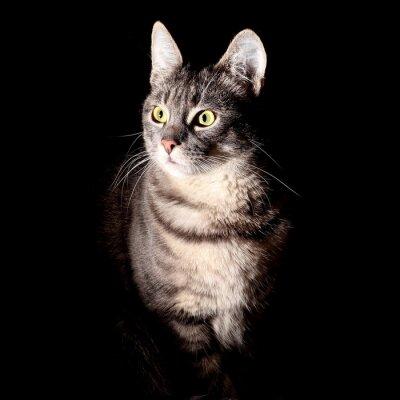 Adesivo Gato, fundo preto