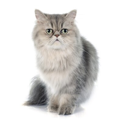 Adesivo gato persa