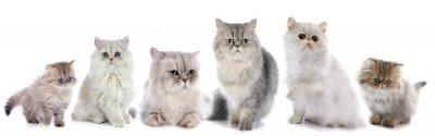 Adesivo Gatos persa da família