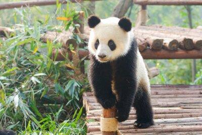 Adesivo Gigante, panda, curiosamente, ficar, chengdu, szechuan, china