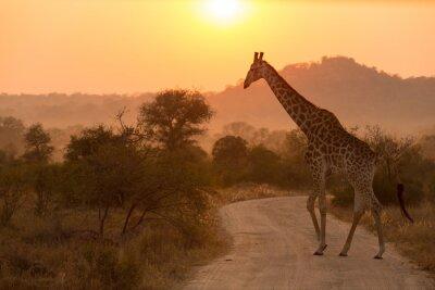 Adesivo Giraffe no nascer do sol Parque Nacional Kruger