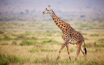 Adesivo Giraffe walking in Kenya