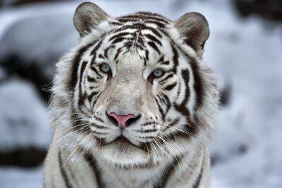 Adesivo Glamour retrato de um jovem branco tigre de bengala
