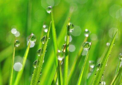 Adesivo Grama verde fresca com gotas de orvalho close up. Nature Background