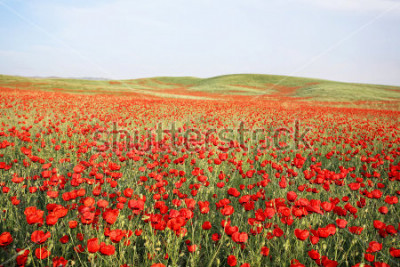 Adesivo green and red beautiful poppy flower field background