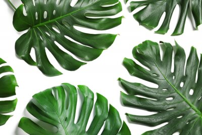 Adesivo Green fresh monstera leaves on white background, top view. Tropical plant