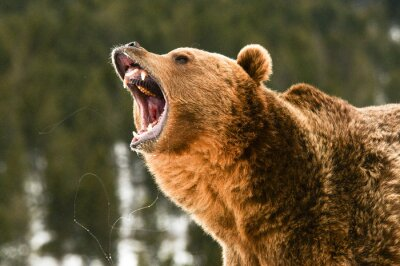 Adesivo Grizzly Bear