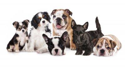Adesivo Grupo de filhotes de cachorro sentado na frente de um fundo branco