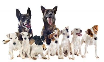 Adesivo grupo de jack russel terrier e malinois