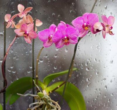 Adesivo Hastes, orquídea, flores, fundo, janela, pingos chuva