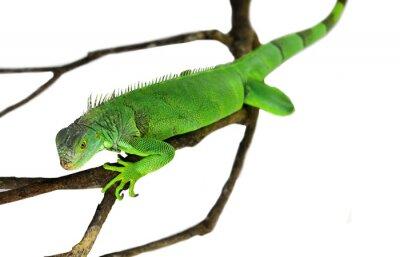 Adesivo Iguana verde isolada no branco com trajeto de grampeamento