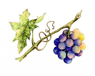 Adesivo Ilustração da aguarela da uva