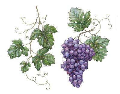Adesivo Ilustração da aguarela de uvas com folhas