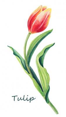 Adesivo Ilustração floral da aquarela da uma tulipa bonita no fundo branco. Cartão bonito. Mola vermelha, amarela, flor alaranjada e folhas verdes. Cartão para o dia do `s das mulheres.
