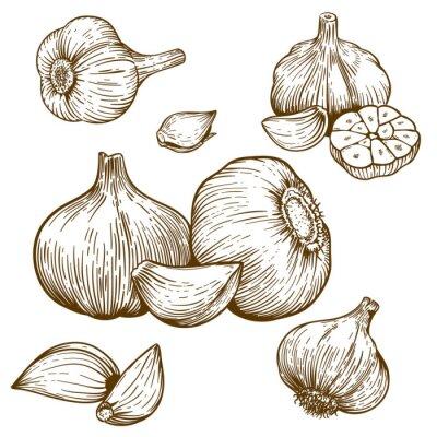 Adesivo ilustração gravura de alho