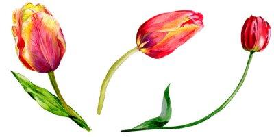 Adesivo Incrível flor tulipa vermelha com folhas verdes. Flor botânica desenhada mão isolada. Conjunto de ilustração de fundo aquarela.