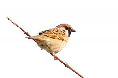 Adesivo isolado macho pardal no galho