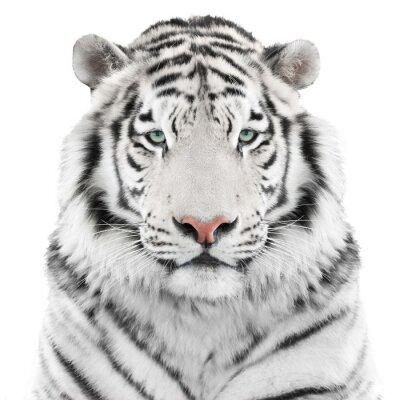 Adesivo Isolated white tiger