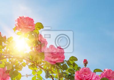 Adesivo Jardim de rosas sobre o céu.