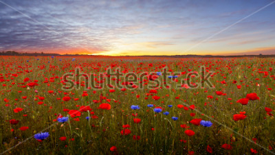 Adesivo Landscape with poppies in Jutland, Denmark at sunset