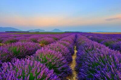 Adesivo Lavender field at sunset